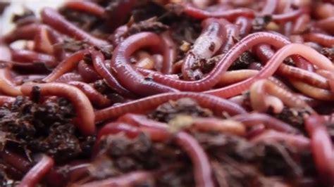 Tempat Pakan Cacing 5 tahap cara budidaya cacing tanah mediatani