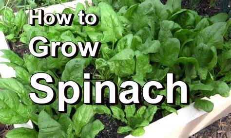 Growing Spinach in Kitchen Garden   Acegardener