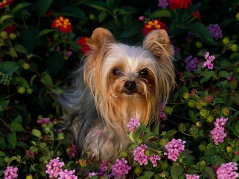 puppies background yorkie puppies background wallpaper high definition high quality widescreen