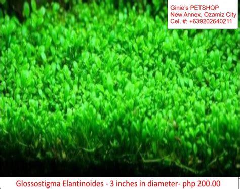 aquatic plants aquarium plants  sale  cebu