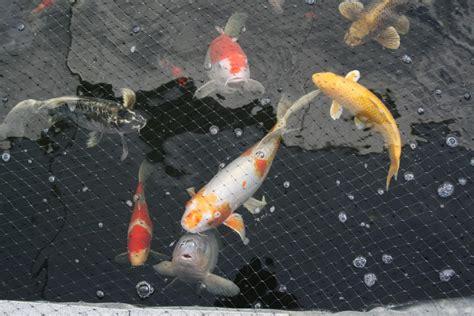 koi tattoo price range 6 fabulous koi fish price range in pisces biological