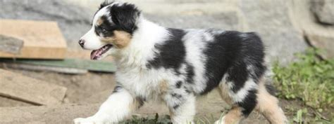 mini aussie puppies for sale home our aussies the australian shepherd available puppies breeds picture
