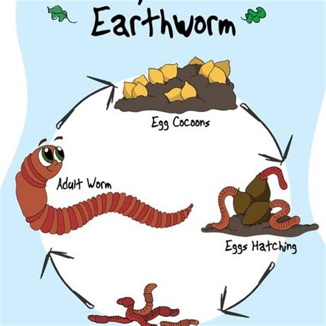 earthworm cycle diagram earthworm reproduction cycle images search