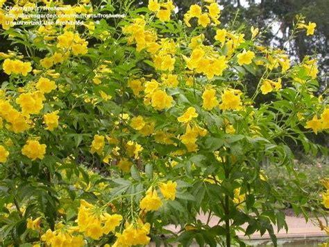yellow trumpet flower shrub plantfiles pictures yellow bells trumpet flower tecoma