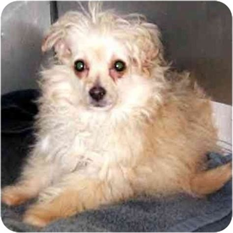 pomeranian poodle mix puppies micro adopted puppy kokomo in pomeranian poodle miniature mix
