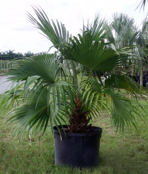 palm these make for growing but striking