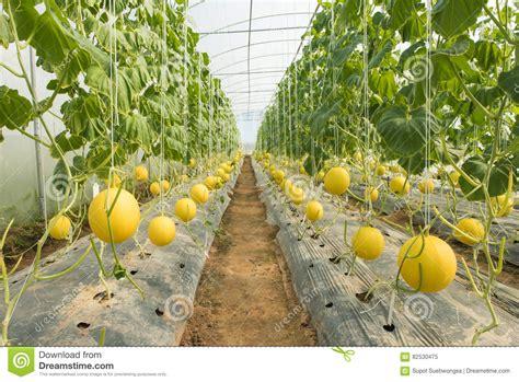 Plantation De Melon by Plantation Melon