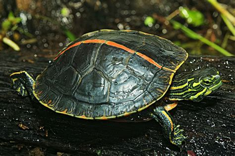 way to euthanize at home hipinion view topic best way to euthanize a turtle at home
