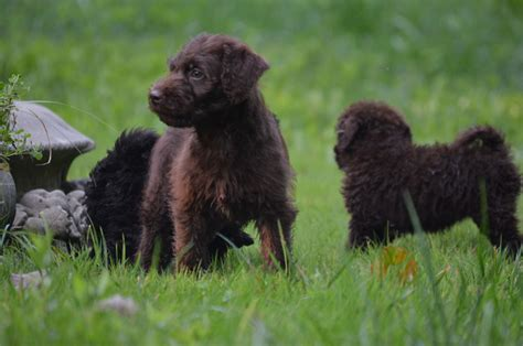 labradoodle puppies virginia chocolate labradoodle and mini labradoodle puppies chocolate labradoodle and mini