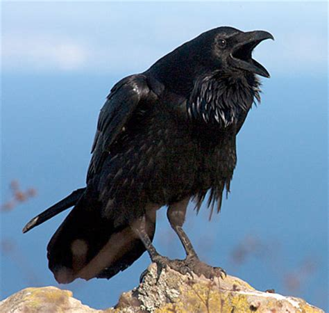 bird of the day the american crow vs the common raven