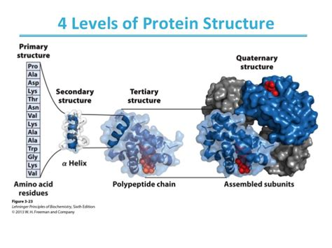 4 protein structure levels biochemistry ch4 protein structure and function