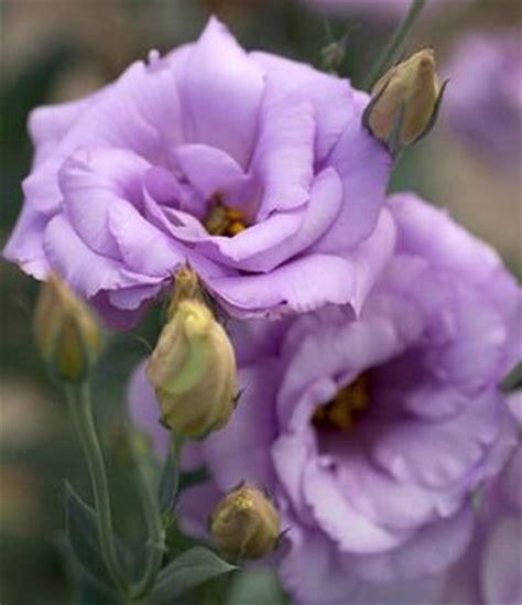 eustoma grandiflorum mariachi 174 lisianthus from sakata