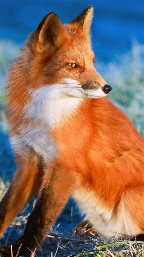 wallpaper red fox   side  uhd  picture image