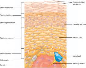 this illustration shows a cross section of the epidermis