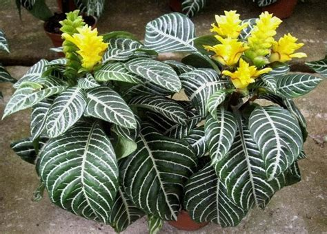 Green Home Design Tips by Plants Amp Flowers 187 Aphelandra Squarrosa Dania