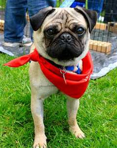 owning a pug pros and cons the pros and cons of owning a pug in australia
