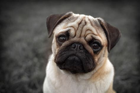 pugs brachycephalic pugs given up to battersea health issues has doubled