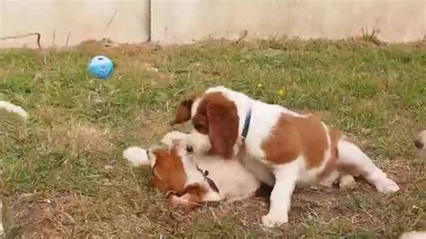 irish setter dog youtube irish red and white setter puppies shadow dog youtube