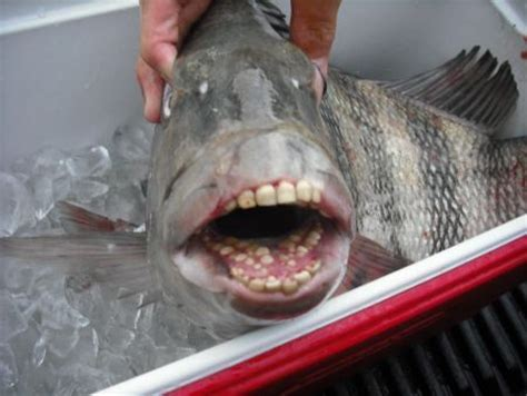 scary fish with human teeth sheepshead ca