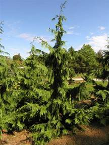 Blue Foliage Plants - blue weeping alaska cedar katsura gardens