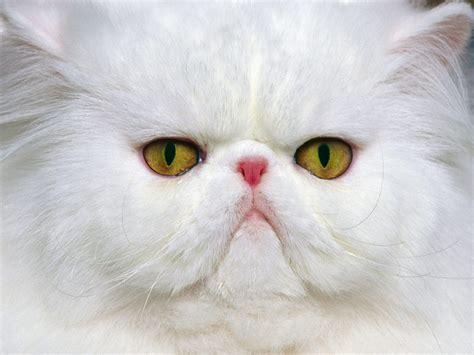 wallpaper persian cat persian cat wallpapers fun animals wiki videos