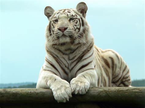 imagenes de tigres de bengala im 225 genes de tigres bengala pictures