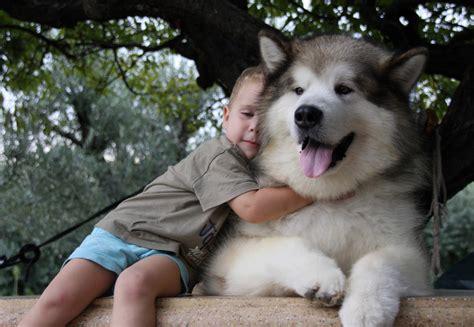 alaskan dogs alaskan malamute as a pet characteristics waste solutions