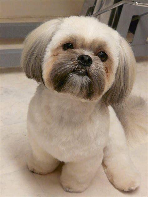 shih tzu with hair shih tzu shih tzu shih tzu puppy