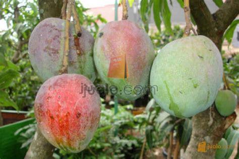 tanaman buah hasil maksimal kab bantul jualo