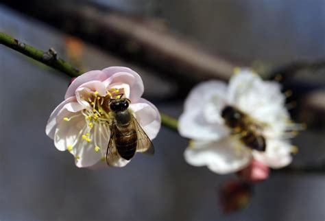 fiori di susino cina un ape su un fiore di susino al giardino della wuyi