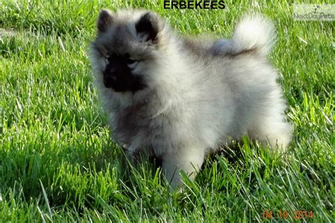small breed puppies for sale in nashville tn pomsky puppies for sale knoxville tn breeds picture