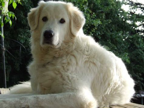 maremma golden retriever mix flock guardian breeds images