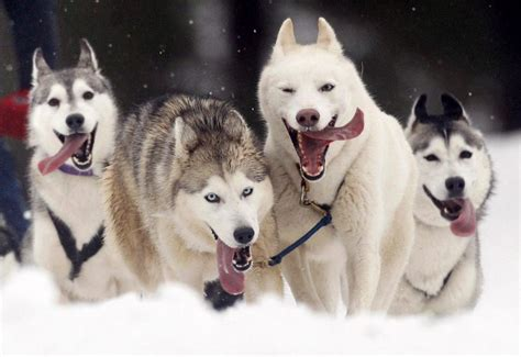 dogs in snow snow and snow dogs animals