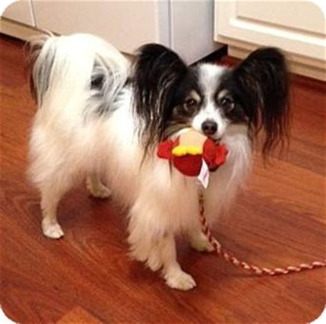 puppies for adoption in nc nc papillon meet baylee in carolina a for adoption