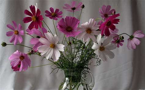 wallpaper flower in pot pink and white cosmos full hd wallpaper and background