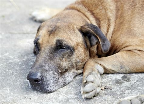 diabetic ketoacidosis in dogs diabetes with ketone bodies in dogs petmd