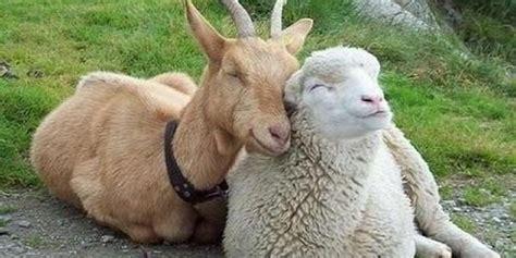 alimentazione capra pecore e capre il gusto e la tradizione 02web ricette