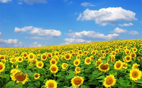 sunflower field field of sunflowers free wallpaper world