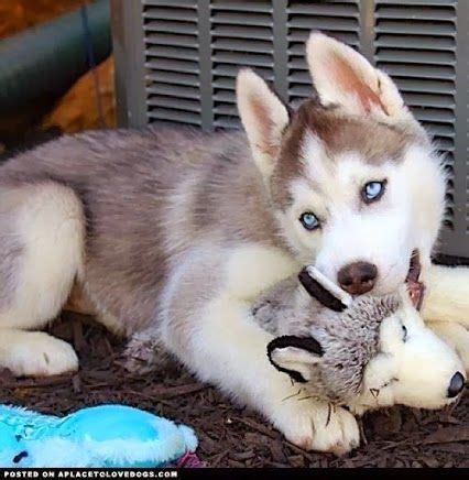 7 Facts On Huskies by 5 Interesting Facts About Siberian Huskies Stuff