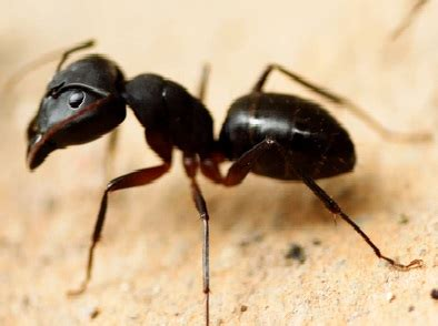 how to get rid of carpenter ants in bathroom carpenter ants