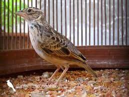 Pakan Branjangan cara merawat burung branjangan agar gacor jang denny
