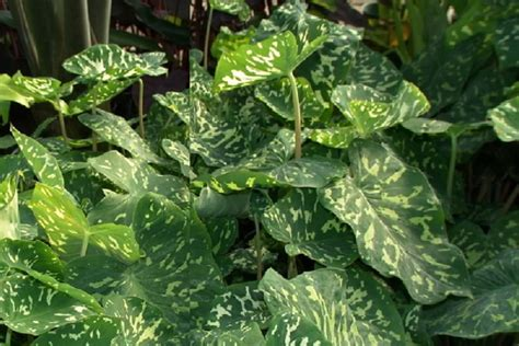polynesian produce stand 3 hilo beauty alocasia camo