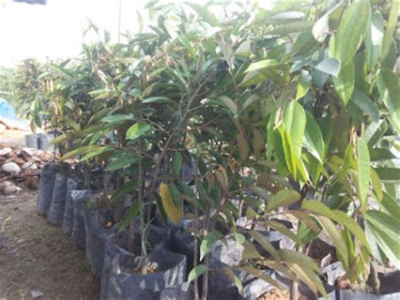 Duri Mutiara Alat Untuk Kb bumi hijau nursery 002279488 d benih durian musang king dan durian duri hitam
