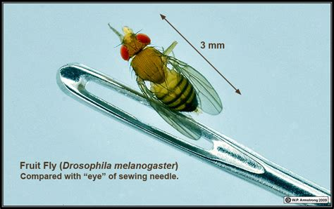 fruit fly size fruit fly larvae size