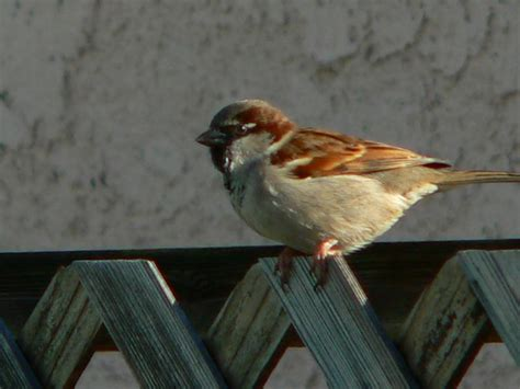 sparrow jpg photo lloyd prudhomme photos at pbase com