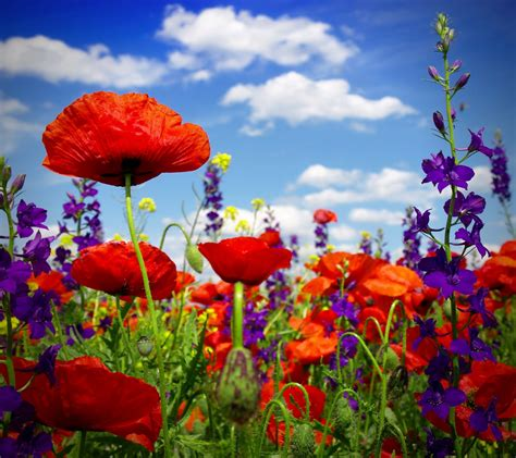 poppy field wild flowers poppy field poppies flower summer