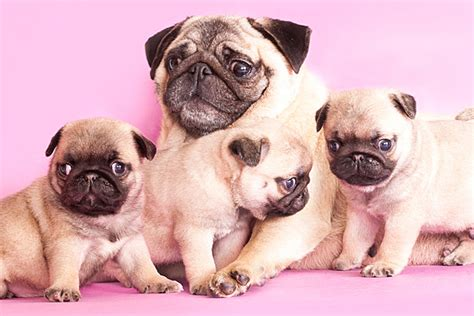 baby with pugs 15 baby animals celebrating s day with their mommies