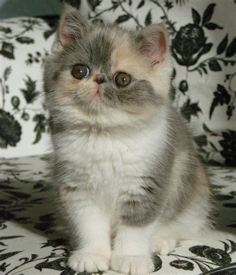Cat 1 Named by Shorthair Kitten Names Pinny Persians