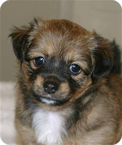 pomeranian silky terrier mix shih tzu temperament breeds picture