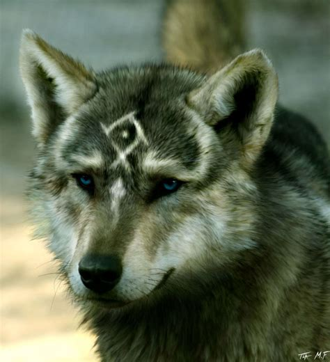wolf s wolves images real wolf link hd wallpaper and background